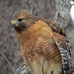 """Red-shouldered Hawk"" by dansmith"