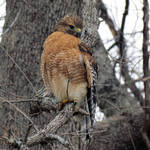"""Red-shouldered Hawk"" by dansmith"