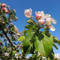 """Apple Blossom"" by John McCoubrey"