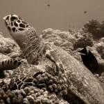 """Hawksbill Sea Turtle"" by Thermocline"