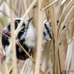 """Downy Woodpecker"" by WildAboutNaturePhotography"