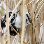 """Downy Woodpecker"" by WildAboutNaturePhotography"