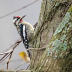"""Yellow-bellied Sapsucker"" by WildAboutNaturePhotography"