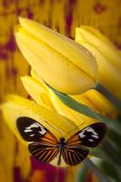 Yellow tulips with orange and black butterfly