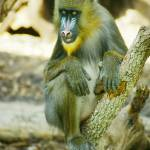 """Mandrill Animal"" by kphotos"