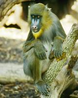 Mandrill Animal