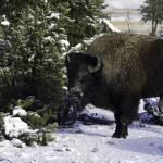 """""""Buffalo"""" by JesseL"""