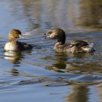Pied-billed Grebes Art Prints & Posters by Jesse Homan