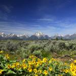"""Grand Tetons with Sunflowers"" by SSamuelson"