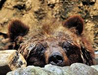 Bored Bear Kuma=Bear My Wife