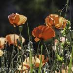 """Poppies"" by simonevanbergen"