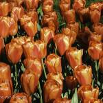 """Bright Red Tulips"" by simonevanbergen"