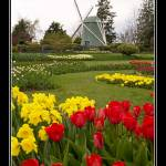 """TulipFestival 084FrmRes"" by CanonShooter2008"