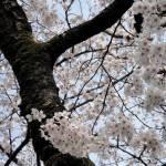 """""""Sakura Blooming"""" by"""