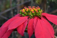 Christmas in Hawai'i: Poinsettia