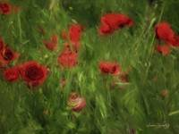 POPPIES BLOWING GENTLY