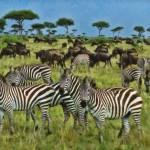 Zebras And WildeBeast