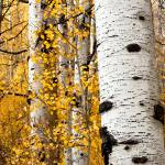 """Aspen Grove Detail"" by dkocherhans"