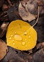 Aspen Leaf Isolation