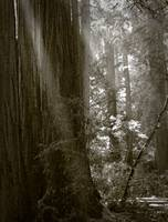 Morning in Muir Woods
