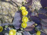 Yellow flowers on purple cactus