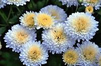 white mum flowers