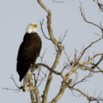 """Bald Eagle"" by WildAboutNaturePhotography"