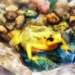 """Panamanian Golden Frog"" by susansartgallery"