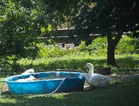 White Ducks and a Pool