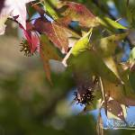"""Sweet Gum 20121004_307"" by Natureexploration"