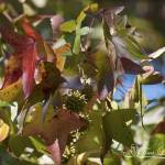 """Sweet Gum 20121004_308"" by Natureexploration"