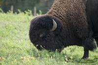 Bison Bull 20121010_175a