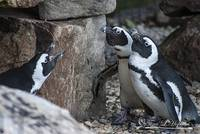African Penguins 20121010_95a