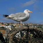 """Seagull at St Ives"" by tessa-gallery"