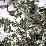 """Cedar Waxwings Picking Clean a Florida Holly"" by marshacarson"