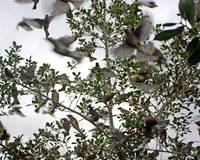 Cedar Waxwings Picking Clean a Florida Holly