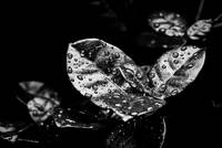 Rainy Day Water Droplets - Black and White