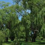 """Grand Pre Weeping Willows 0914"" by davies"