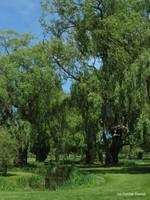 Grand Pre Weeping Willows 0914