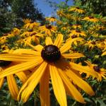 """Brown Eyed Susan_4460"" by davies"
