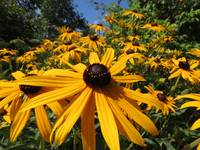 Brown Eyed Susan_4460