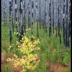 """baby aspen in burn, glacier national park"" by chris_lombardi"