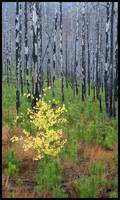 baby aspen in burn, glacier national park