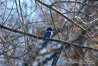 Belted Kingfisher 20121121_16b