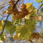 """Sycamore Leaves 20121020_29a"" by Natureexploration"