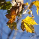"""Maple Leaves 20121020_30a"" by Natureexploration"