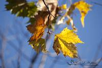Maple Leaves 20121020_30a