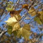 """Sycamore Leaves 20121020_28a"" by Natureexploration"