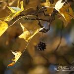 """Sweet Gum Leaves 20121020_26a"" by Natureexploration"