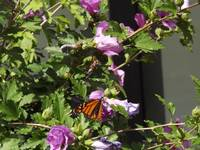 Monarch Butterfly on Rose of Sharon